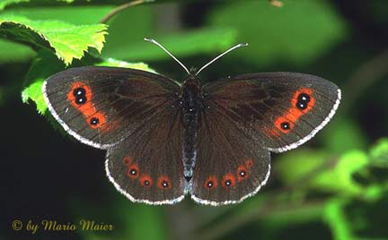 Custom Champleve Butterfly